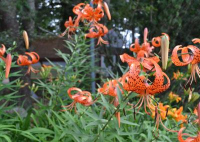 acorn tiger lilies